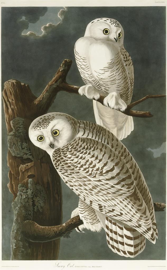 Snowy Owl (Plate CXXL) Strix nyctea