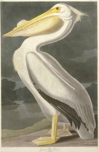 American White Pelican (Plate CCCXI) Pelicanus americanus
