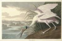 Roseate Spoonbill (Plate CCCXXI) Platalea ajaja