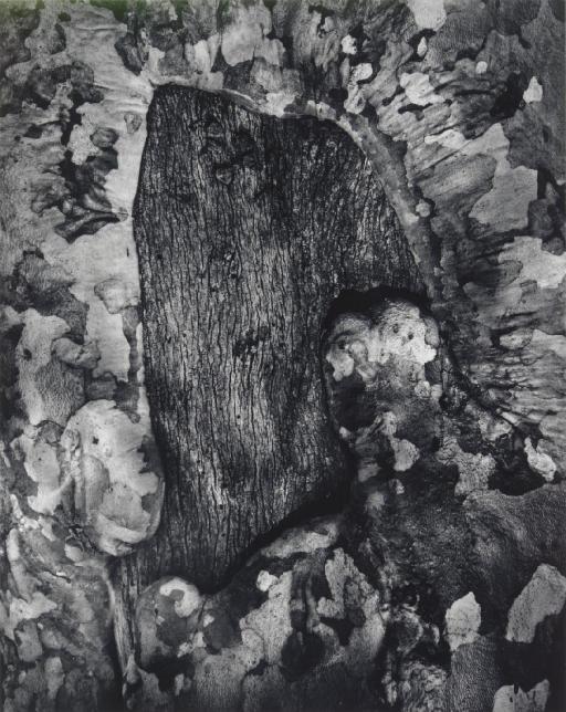 Sycamore Tree Scar, 1971