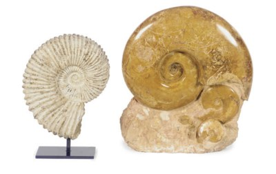 TWO AMMONITE FOSSILS,