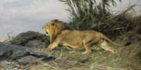 A lion in flight