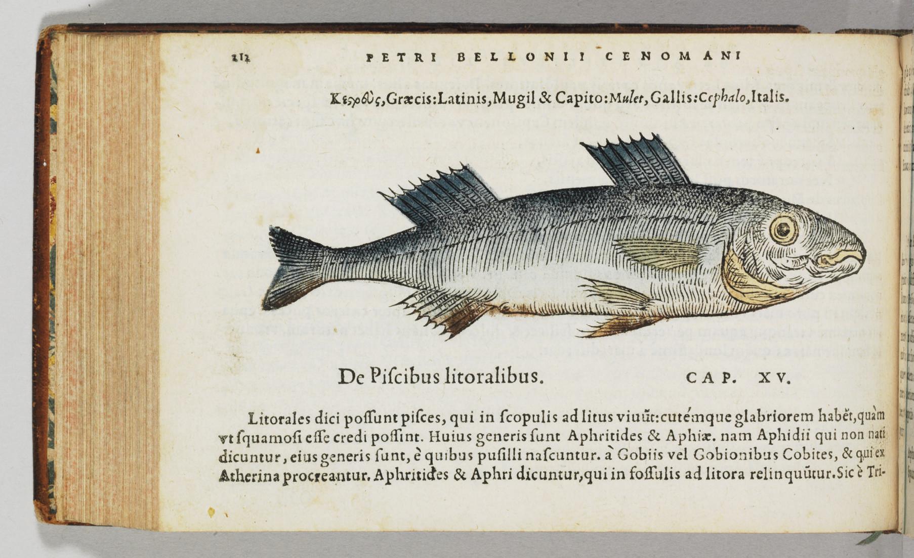 BELON, Pierre (1517-1564). De