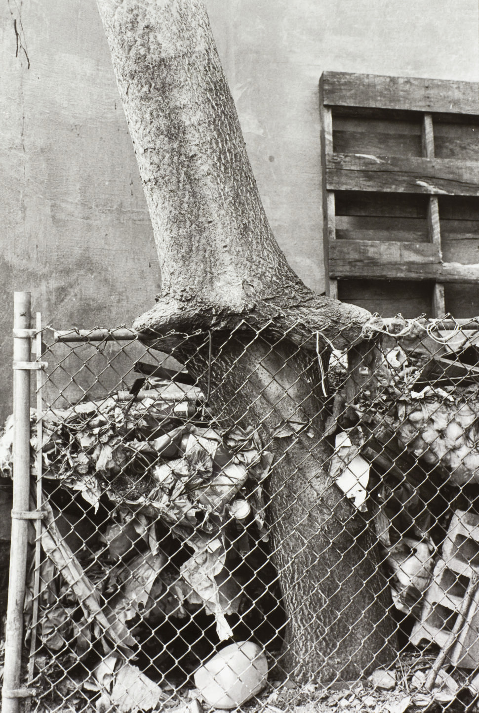 Tree + Fence out my back window, 1998