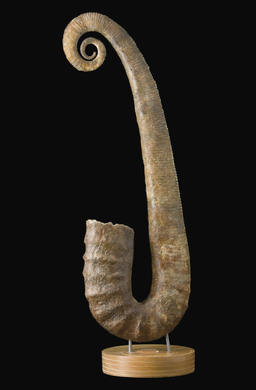 AMMONITE ANCYLOCERAS DEROULEE