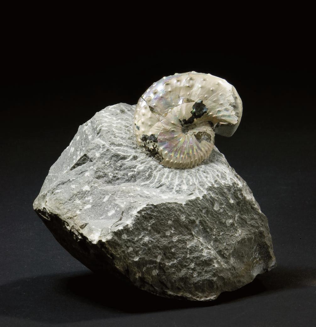 AMMONITE DISCOCAPHITE CONRADI