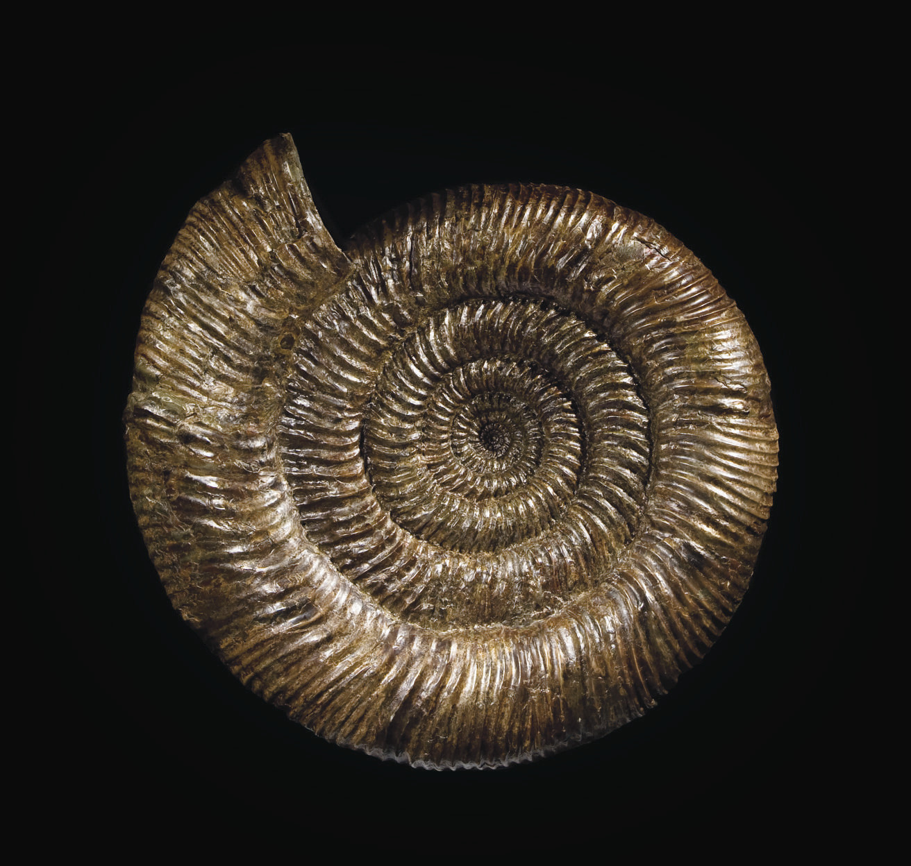 AMMONITE SPEETONICERAS