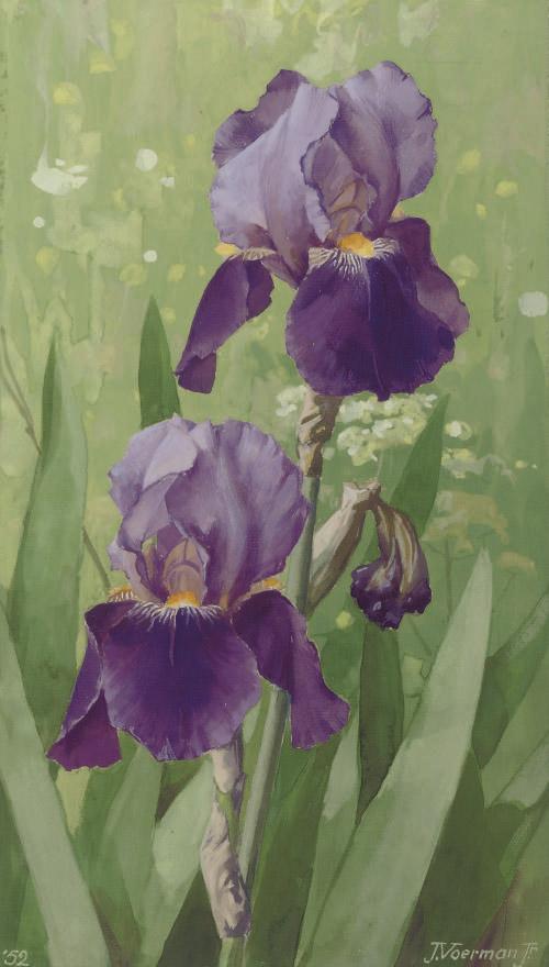 A purple iris