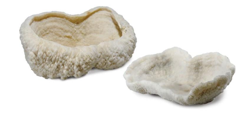 A pair of button mushroom cora
