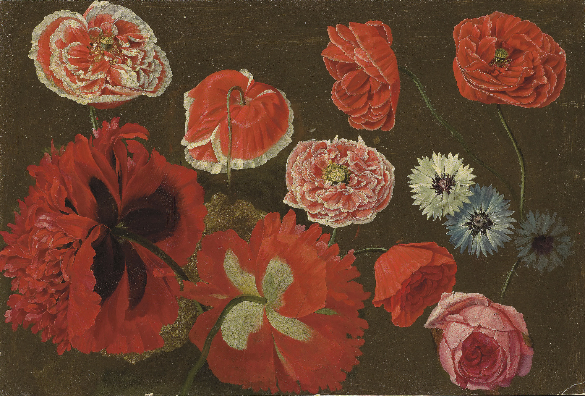 Red, pink and white poppies, cornflowers centaurea and a pink rose