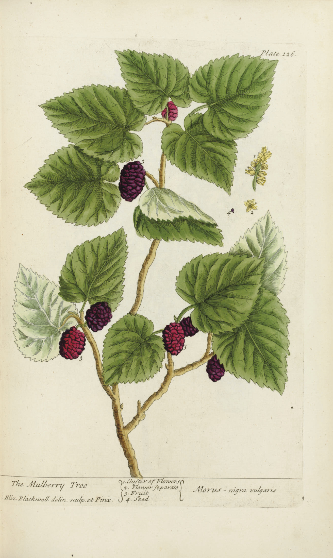 BLACKWELL, Elizabeth (ca 1700-1758). A Curious Herbal, containing five hundred cuts of the most useful plants... from drawings taken from life. London: Samuel Hading, 1737[-?1739].