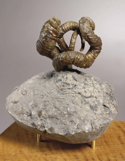 AMMONITE NIPPONITES MIRABILE