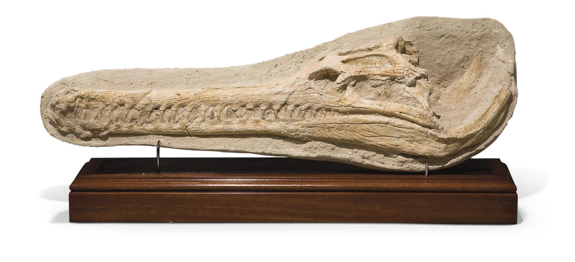 CROCODILE DYROSAURUS PHOSPHATI