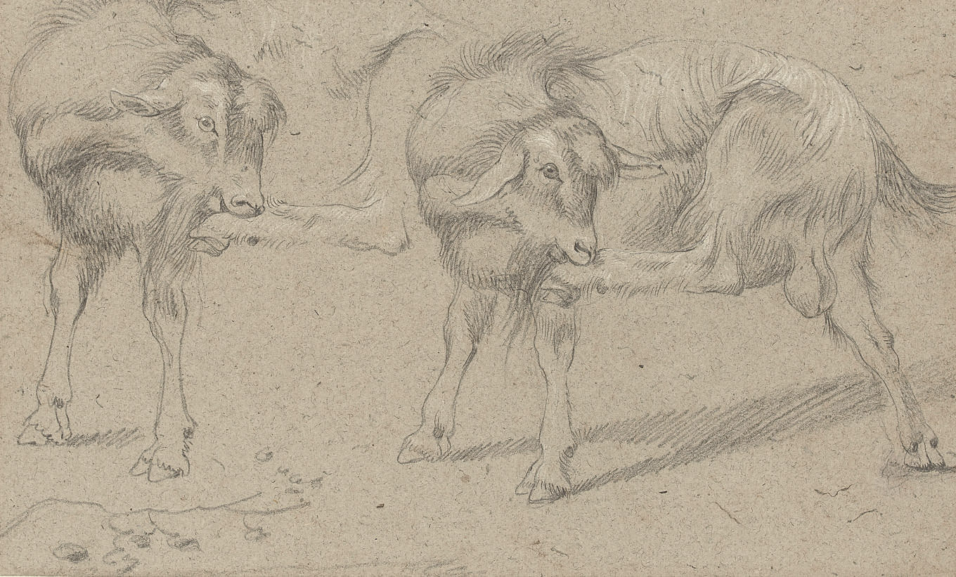Two studies of a goat grooming itself