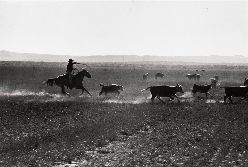 Texas Cowboy herding cattle, 1949