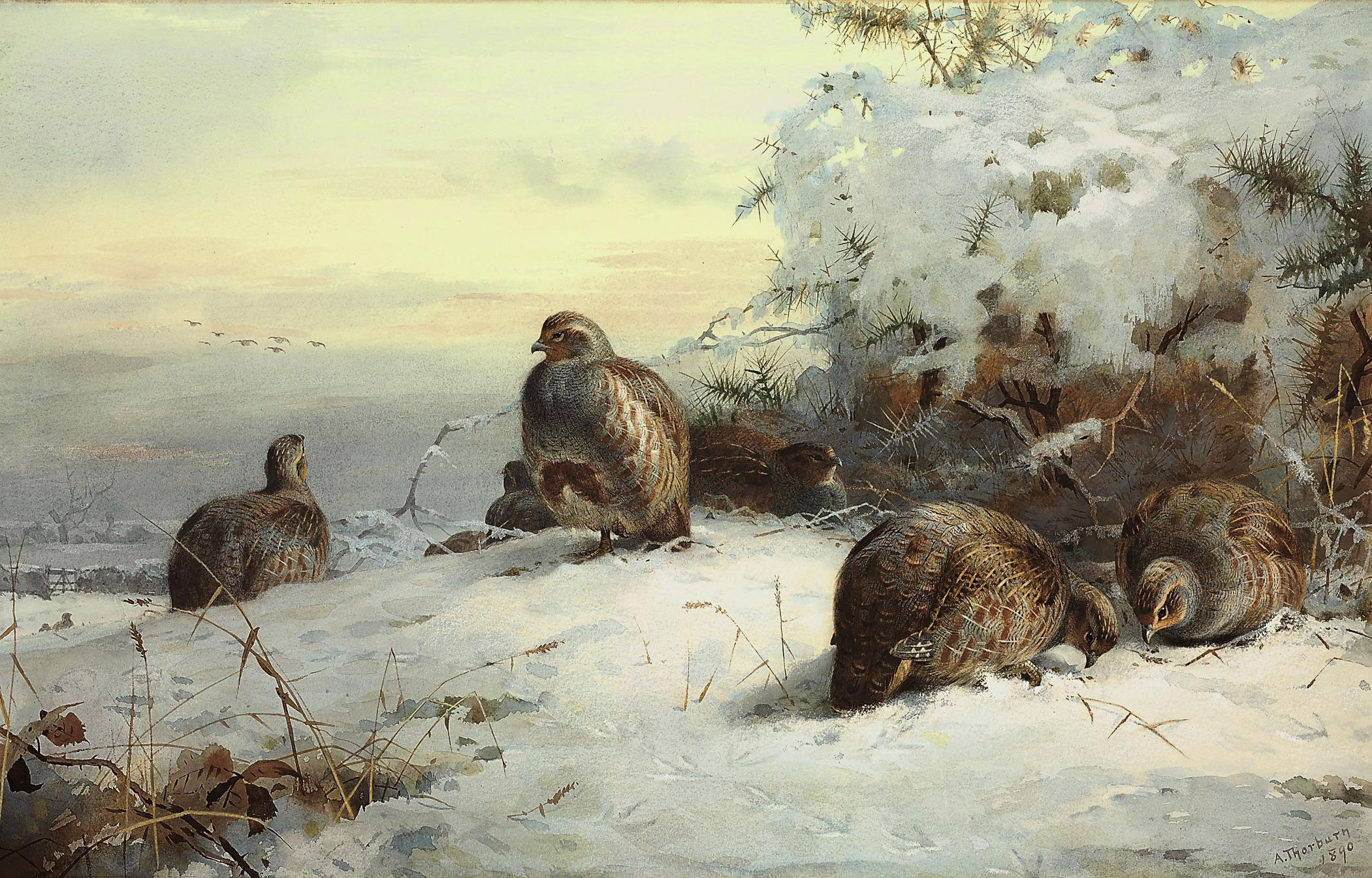 A covey of grey partridge in a snow-bound landscape, resting beneath gorse