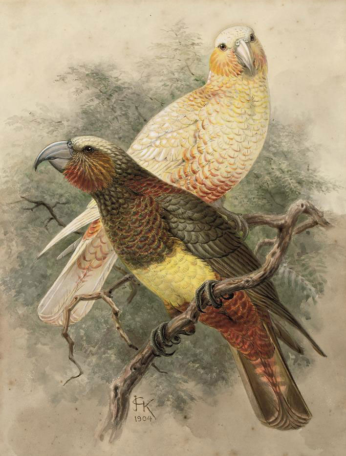 Two Kaka parrots