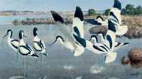 Avocets in the Camargue