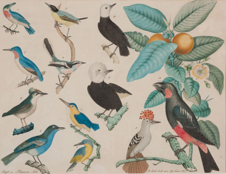 Des colibris avec une branche de goyavier-pomme