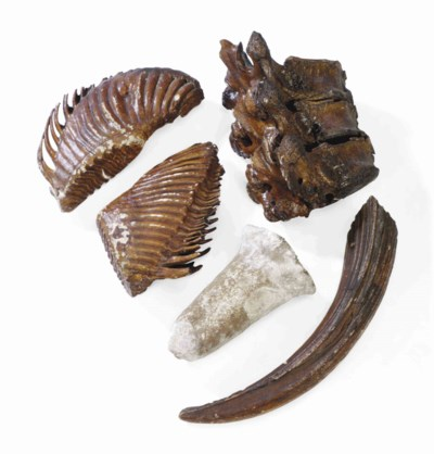 A GROUP OF FIVE FOSSILS