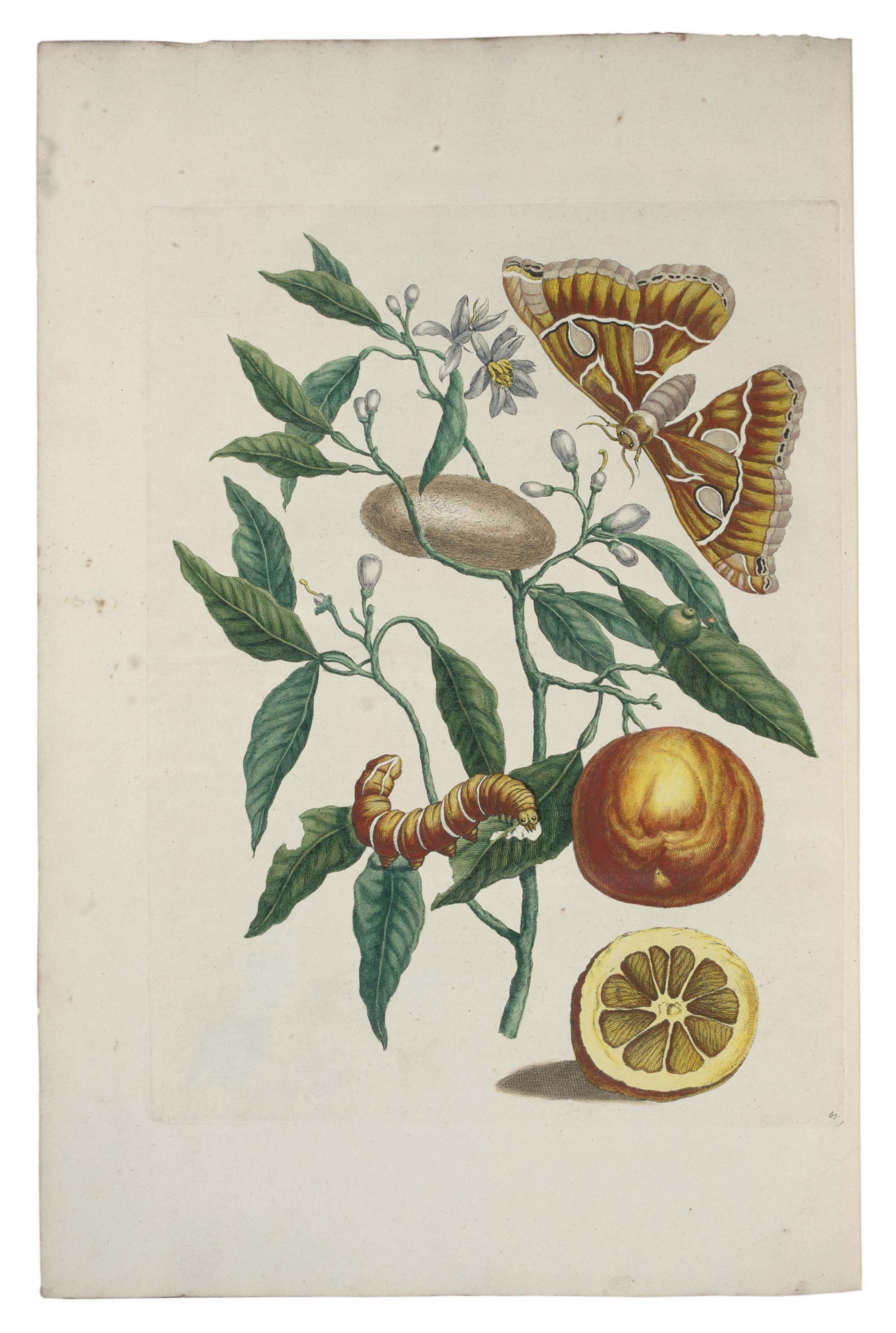 MERIAN, Maria Sibylla (1647-1717). Metamorphosis Insectorum Surinamensium. Ofte Verandering der Surinaamsche Insecten. Amsterdam: the author and Gerard Valck, [1705].