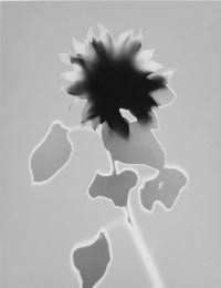 Sonnenblume, 1994