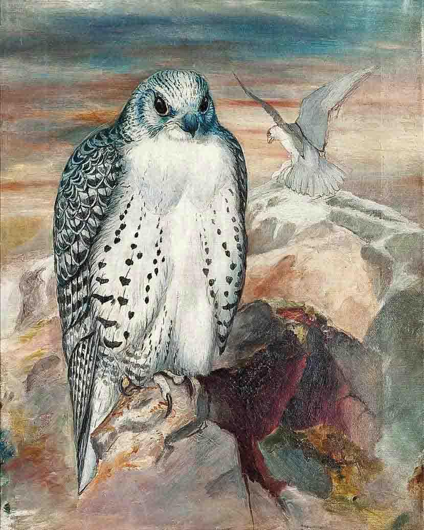 Icelandic Gyrfalcon (Falco islandicus), on a cliff top