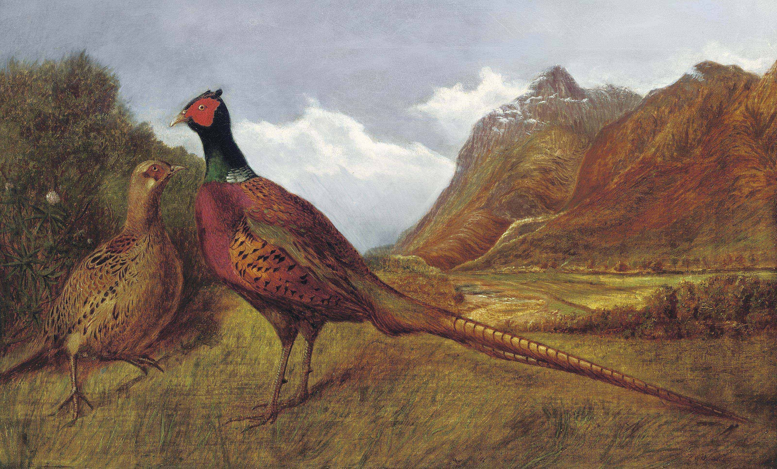 A cock pheasant and hen in a highland landscape