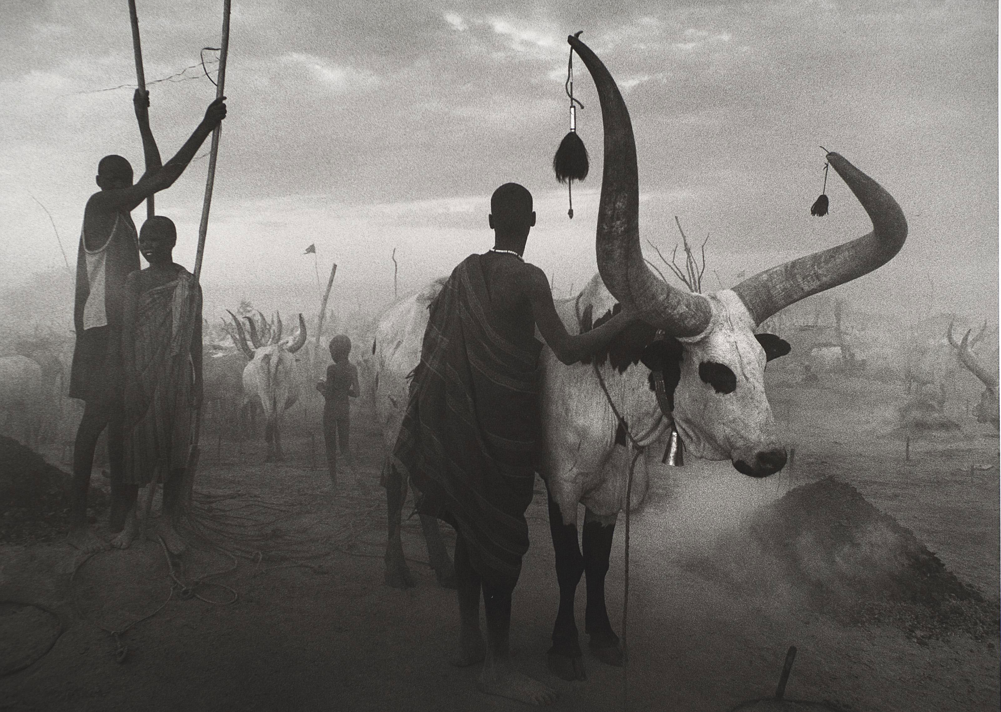 Sudan Cattle, 2006