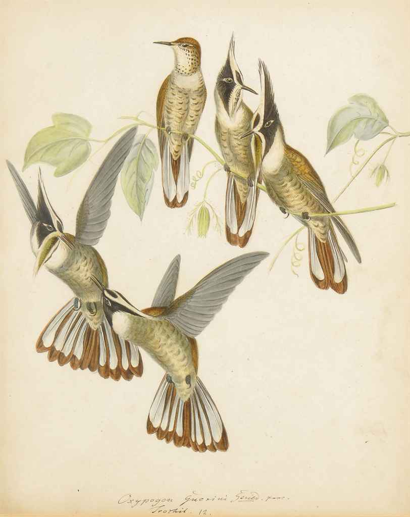Three studies of Humming Birds