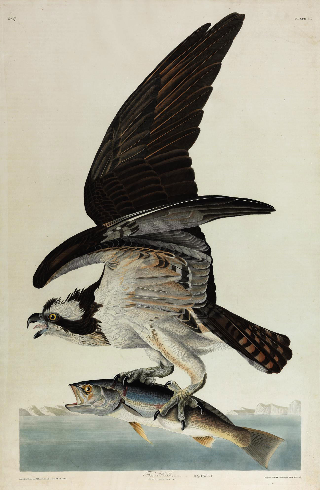 Fish Hawk (Plate 81) Falco haliaetus Variant 1