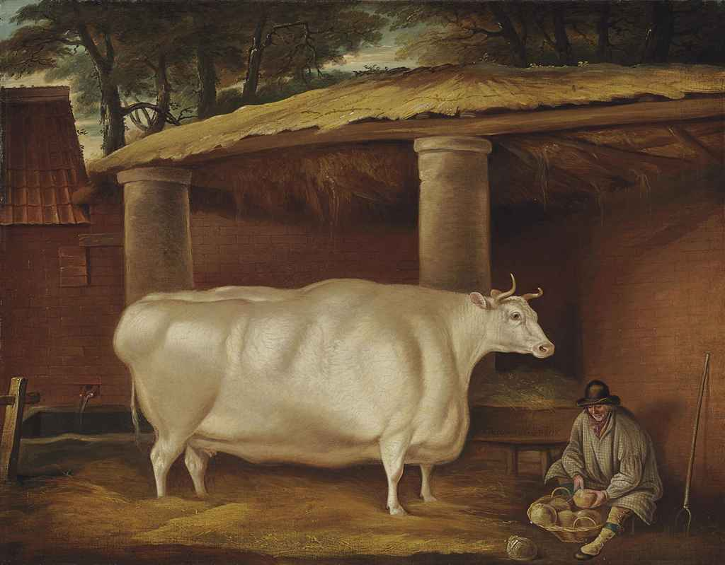 White Shirthorn Heifer that Traveled