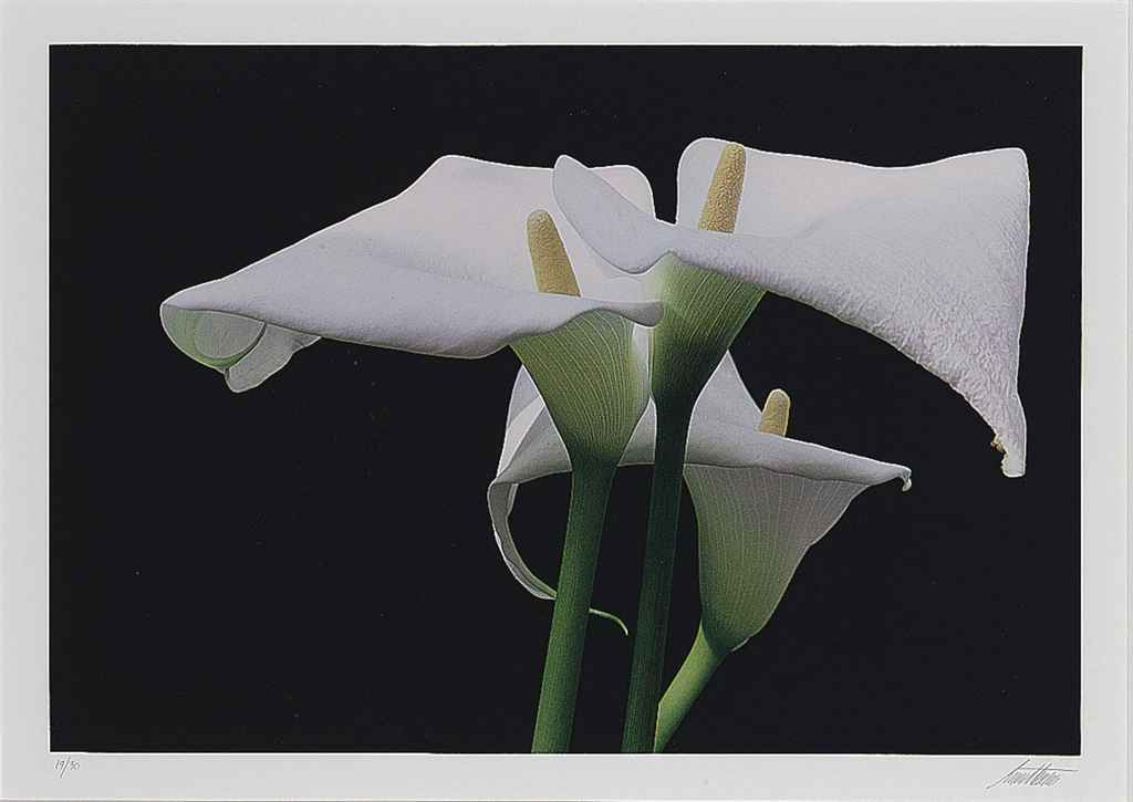 Calla Lillies, New York, 1982; and ten companion photographs