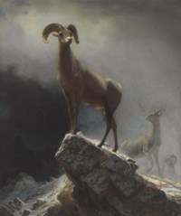 Rocky Mountain Sheep or Big Horn, Ovis, Montana