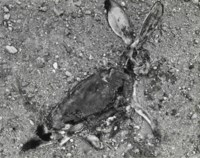 Jackrabbit, 1939