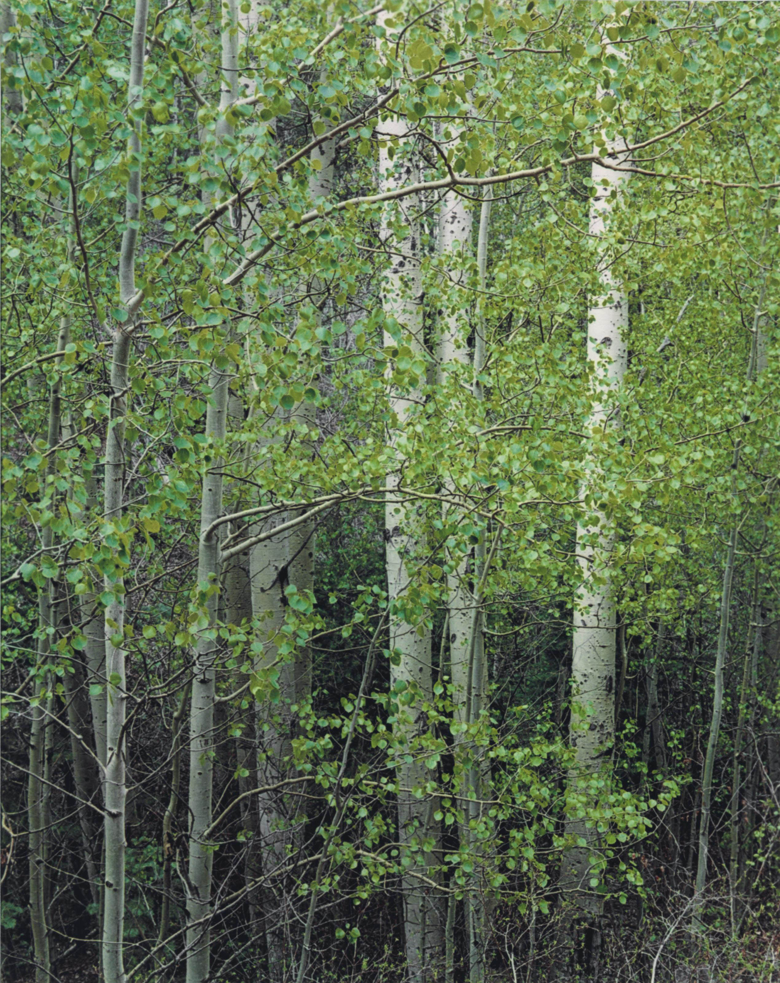 Trees, 1957-1968