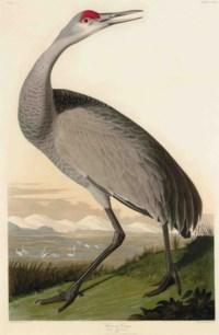 Hooping Crane (Plate CCLXI) Grus Americana