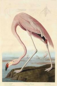 American Flamingo (Plate CCCCXXXI) Phoenicopterus ruber