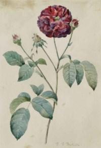Etude d'une rose rouge