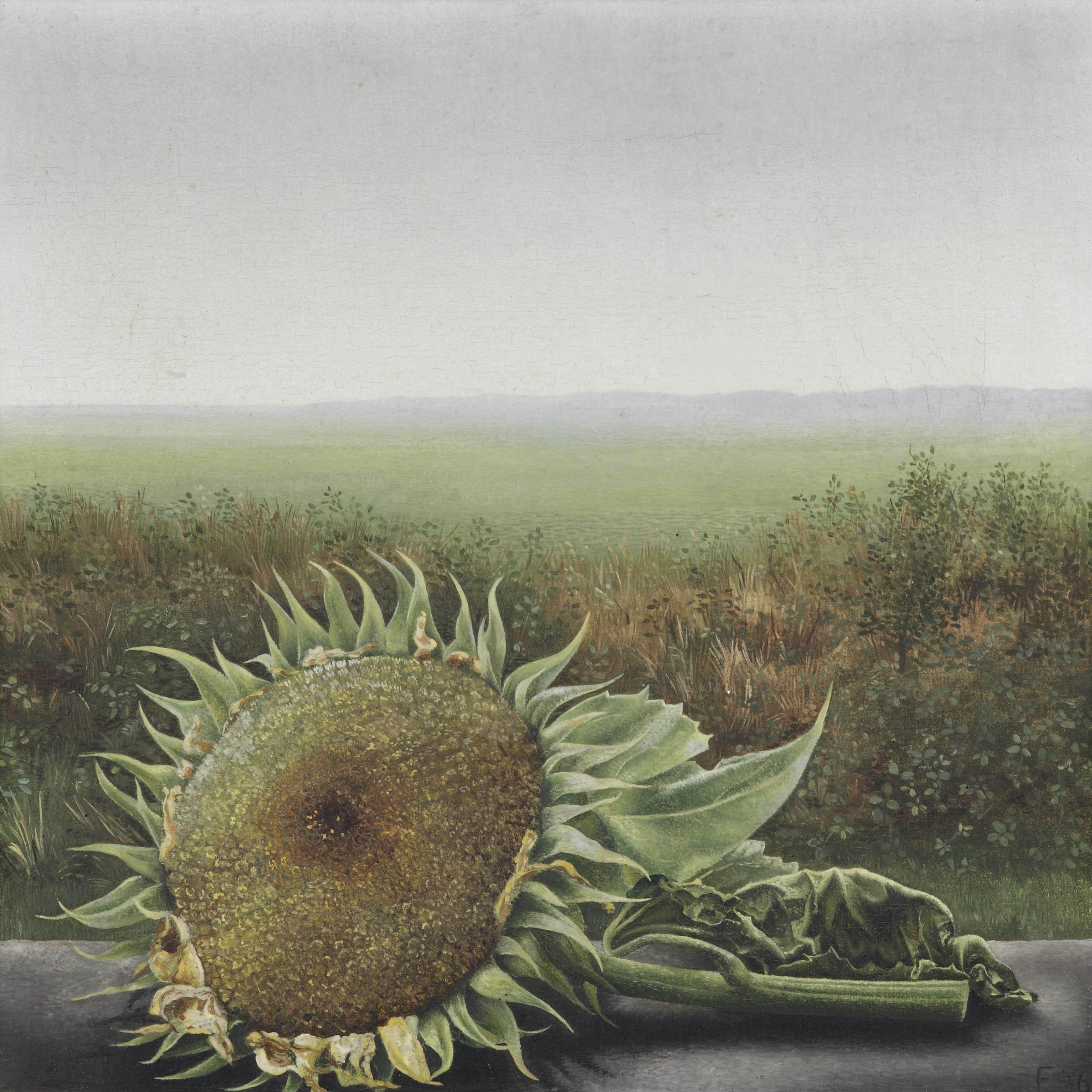 Uitgebloeide zonnenbloemen