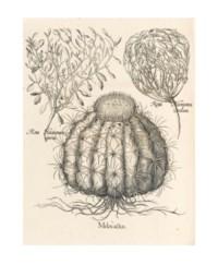 [BESLER, Basil (1561-1629). Hortus Eystettensis. Nuremberg and Eichstätt: Strauss, 1713(-1750)].