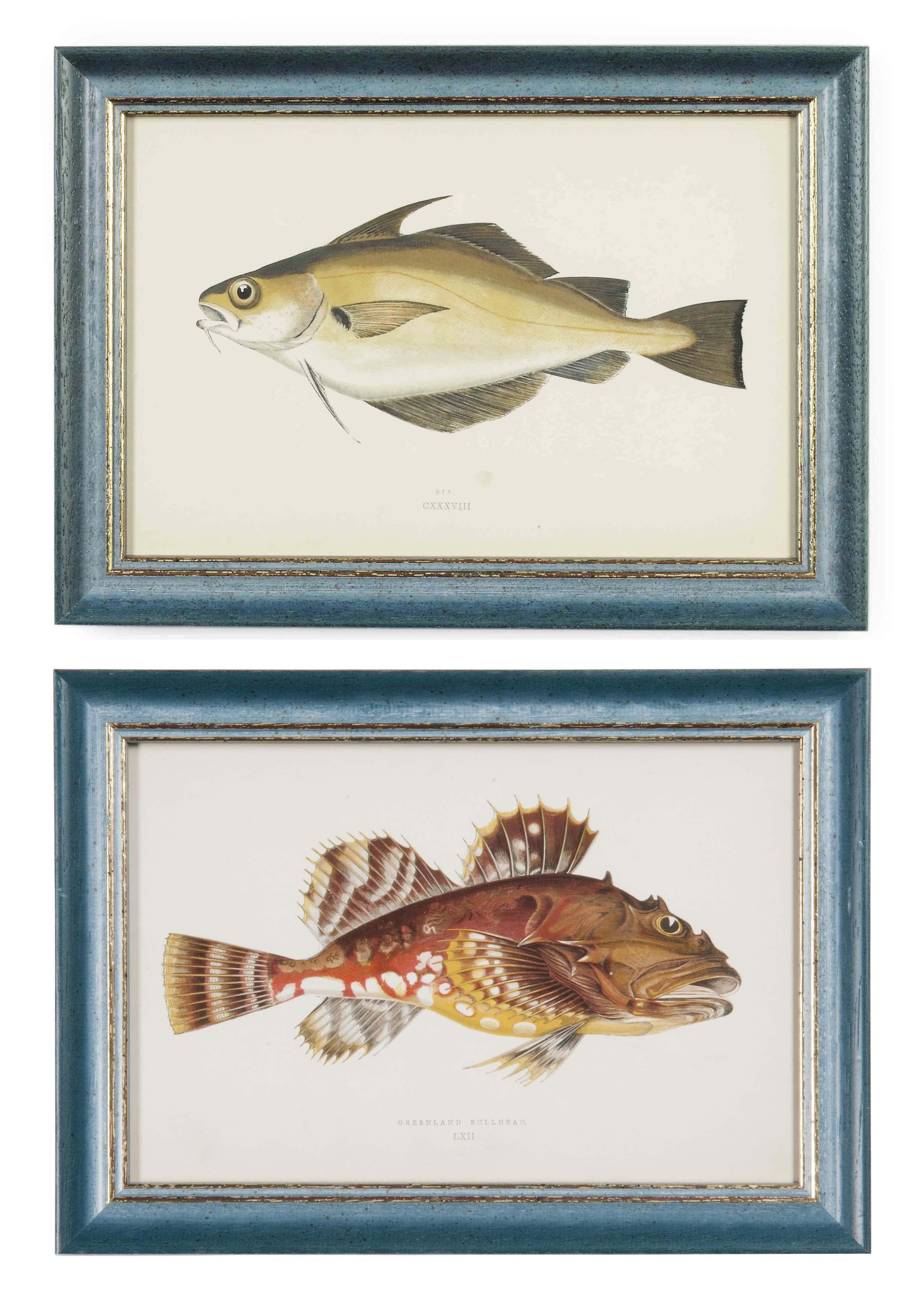 TWENTY FOUR ENGRAVINGS OF FISH