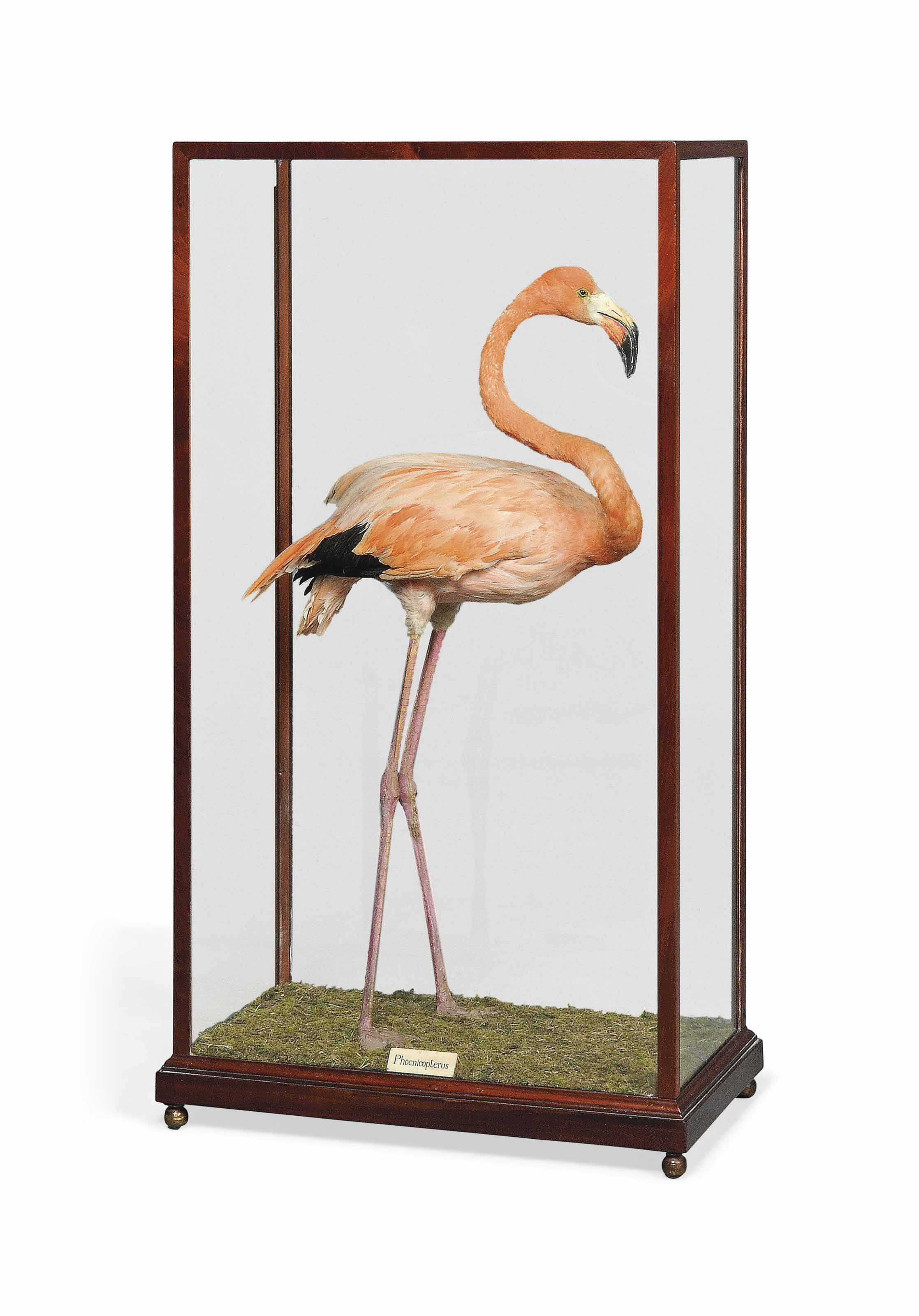 A TAXIDERMY MOUNTED FLAMINGO