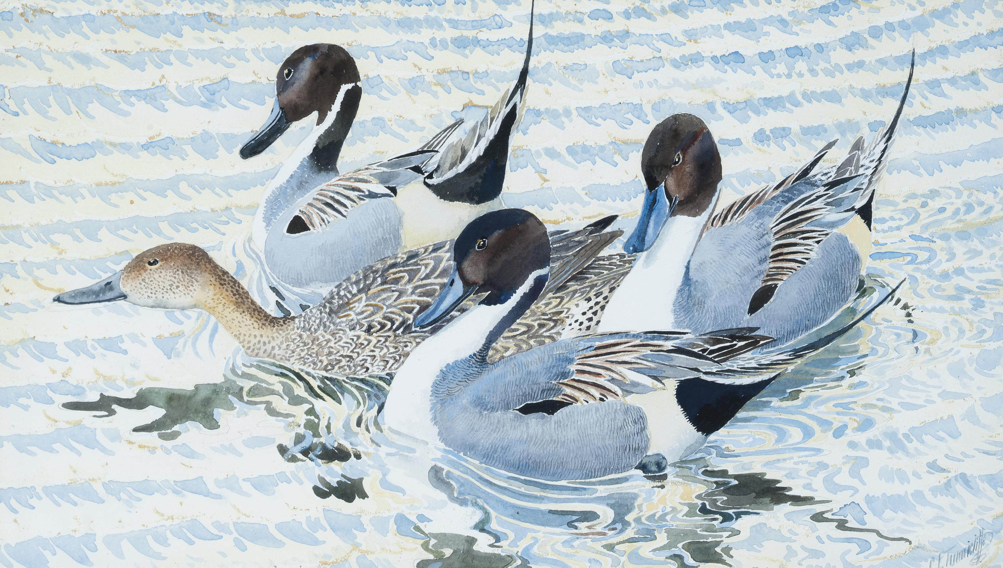 Courting pintails