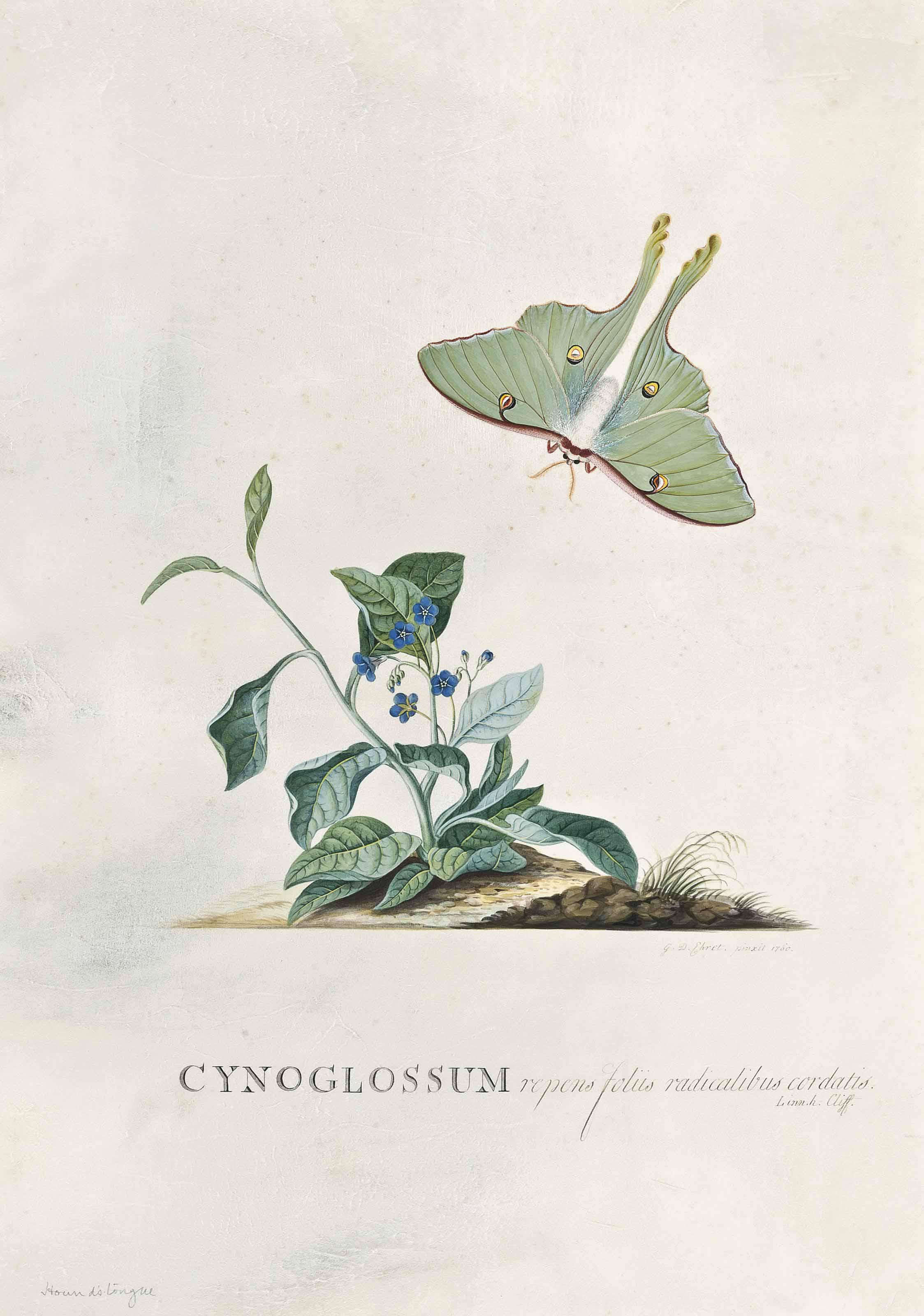Cynoglossum repens foliis radicalibus cordatis