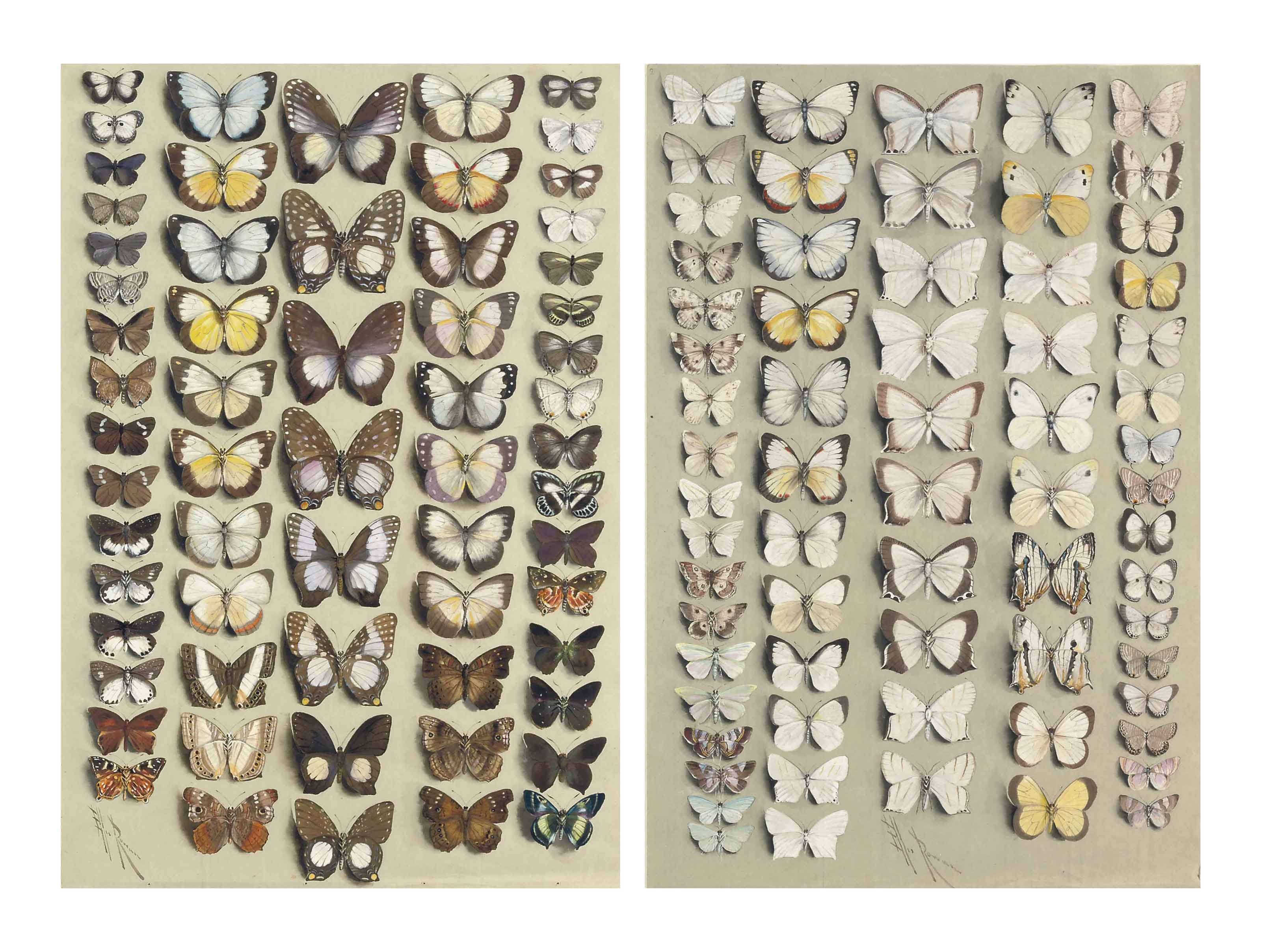 White butterflies: sixty-two butterflies, in five columns, representing five families: PIERIDAE (Appias 17-22, 36-43; Delias 23,24), LYCAENIDAE (47-50; Pithecops dionisius 1,2; Prosotas 3,4; Nacaduba 5-8; Danis 51,52; Danis perpheres 55,56; Hypolycaena phorbas 53,54); RIODINIDAE (Dicallaneura 15,16, 57,58), HESPERIIDAE (9-14; Allora doleschalli 59,60; Hasora 61,62), NYMPHALIDAE subfamily NYMPHALINAE (Precis 27; Precis erigone 44-46), NYMPHALIDAE subfamily LIMENITINAE (Cyrestis acilia 25,26), and NYMPHALIDAE subfamily CHARAXINAE (Prothoe australis 28-35)  Sixty-six Lepidoptera, in five columns, including butterflies belonging to the PIERIDAE (19-28; 53-56; Appias albina 41,42, 45,46; Eurema candida 49,50), LYCAENIDAE (57-64) and NYMPHALIDAE subfamily LIMENITINAE (Cyrestis achates 47,48), together with many moths mostly belonging to the GEOMETRIDAE (e.g. 1,2; 9-12; 29-40; 43,44, 51,52) and PYRALIDAE (e.g. 15.16)