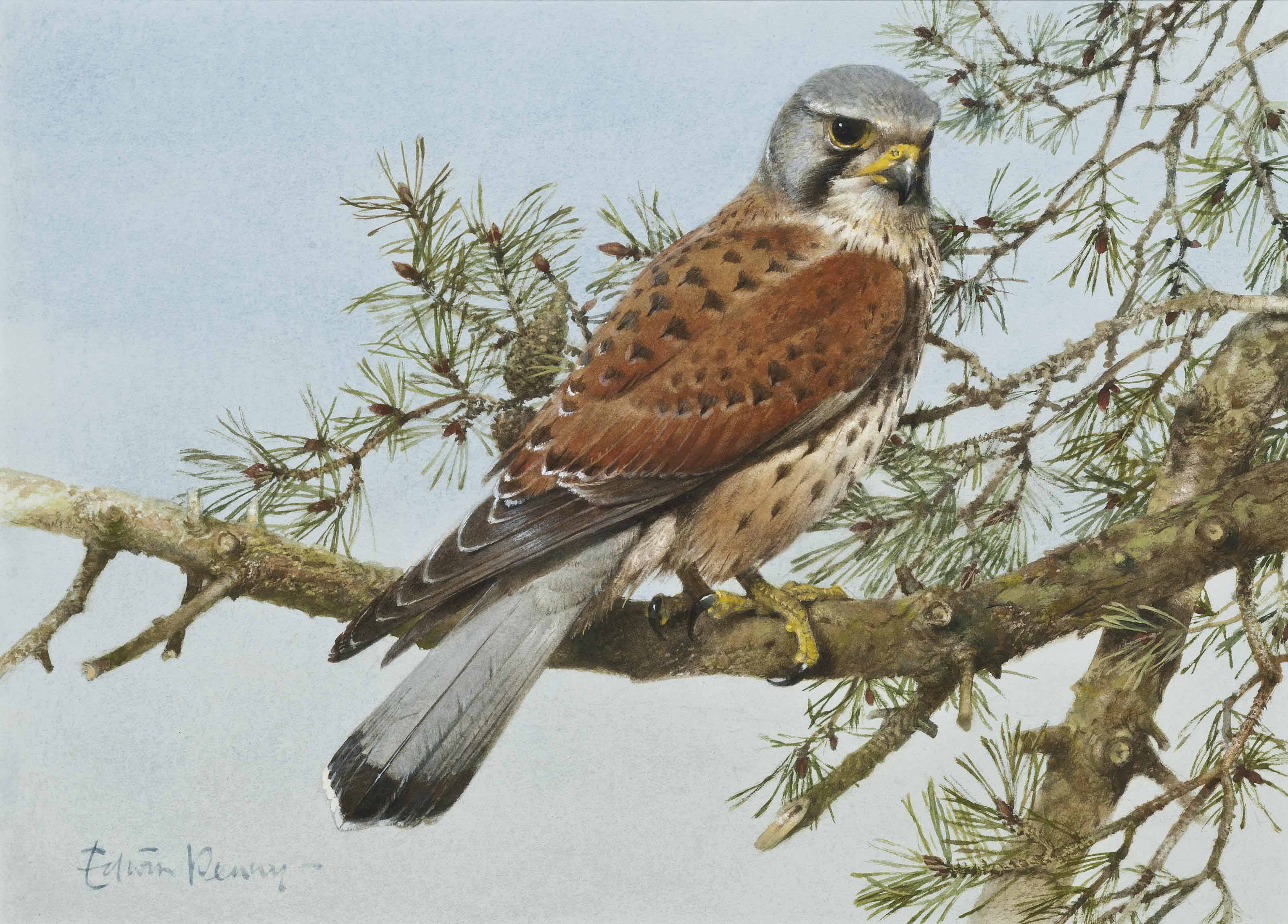 Male kestrel; Little owl; and Blue tits on pyracantha