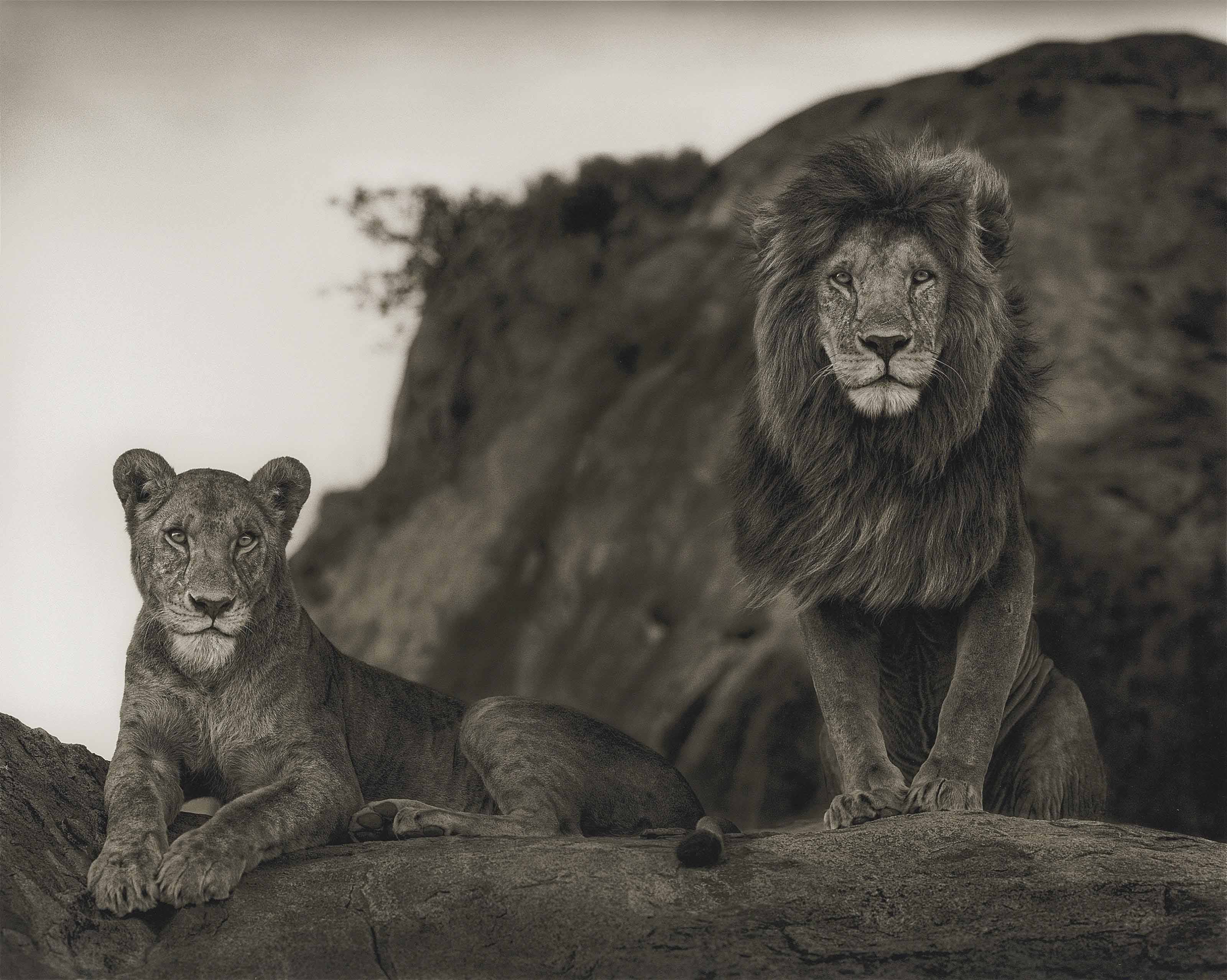 Lion couple, 2010
