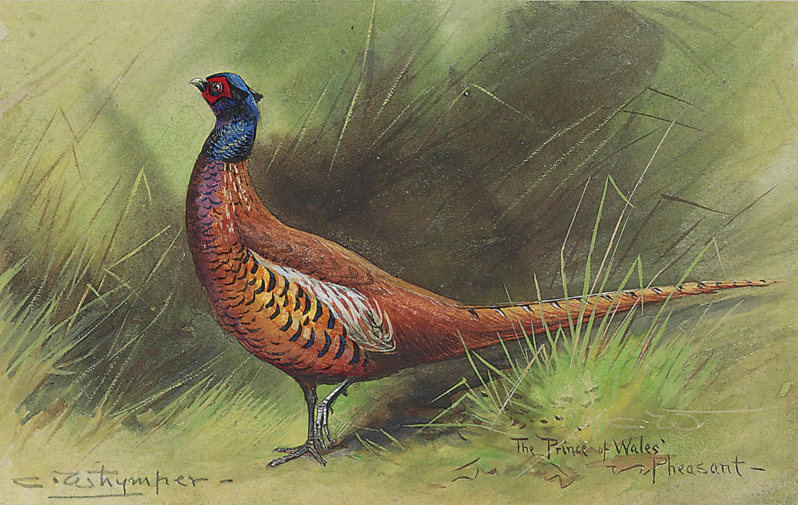 The Prince of Wales' Pheasant