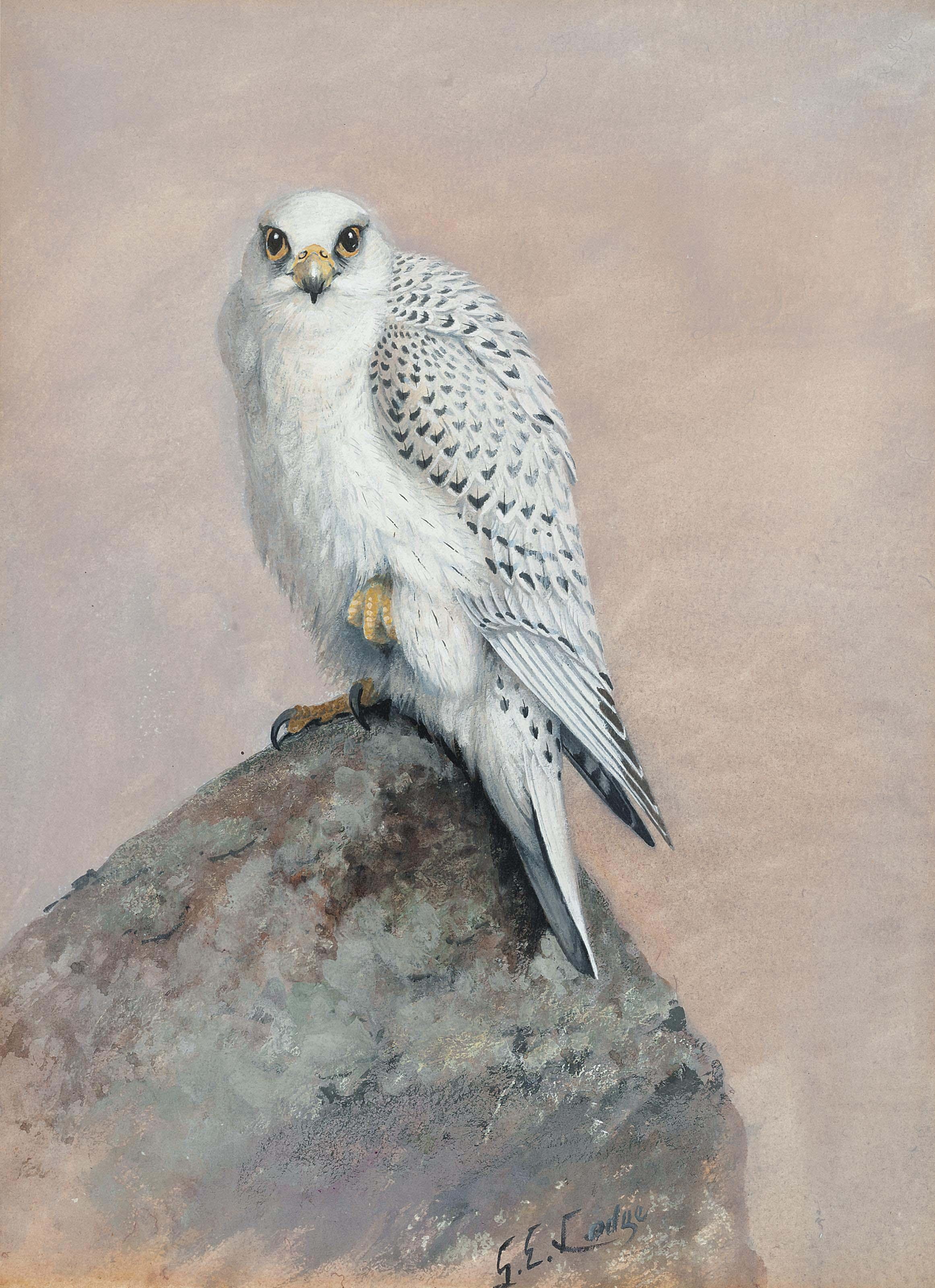 Greenland gyr falcon